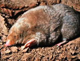 "moles can measure 8"" long"